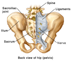 Posterior view of pelvis and sacrum
